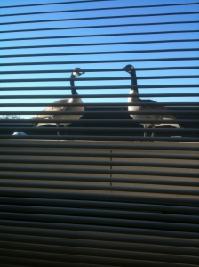 Canadian Geese on our balcony