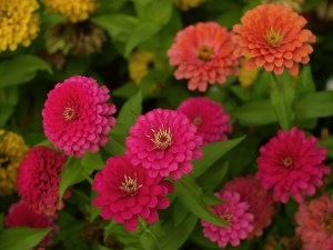 zinnias in the garden