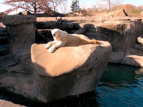 Polar Bear Cleveland Zoo