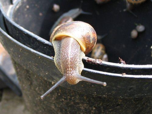 escape snail sxc